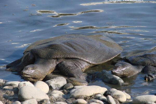 T-PVS/Files (2020) 54.Update Report. Loggerhead Sea Turtle (Caretta caretta) & Soft Shell Nile Turtle  (Trionyx triunguis) Conservation Monitoring in Anamur beach, Mersin, Turkey
