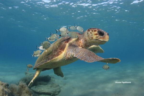 Sea turtles in the Mediterranean Region – MTSG Regional Report 2020 ©