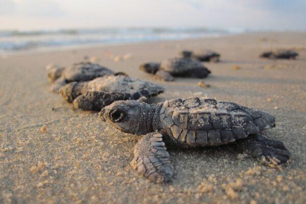 Sea turtle nesting 2020 various sites
