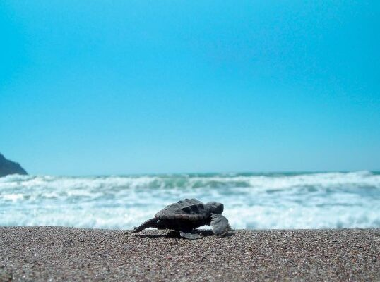 Conservation of Marine Turtles in the Mediterranean Sea