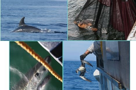 Monitoring the incidental catch of vulnerable species in Mediterranean and Black Sea Fisheries. Methodology for data collection.